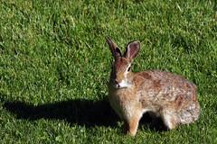 Bunny Birthing Center (19)-6x9 (Paul-W) Tags: rabbit bunny grass yard child birth mother ears 2016 givingbirth