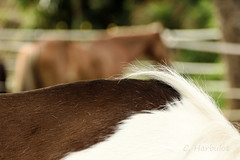 Au paddock (cedric.harbulot) Tags: nikon d5300 sigma 18250mm nouma nouvellecaldonie cheval chevaux quitation animal questre gourmette hippique cavalier newcaledonia horse equestrian horseman