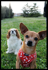 Chicco (& Lilli) (GiuliaBi95) Tags: friends dog cane king cookie biscuits cavalier lilli chicco biscotto