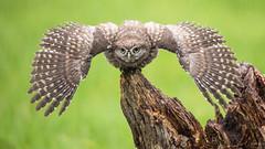 Steenuil - Little Owl (wimzilver) Tags: bird rain owl regen vogel uil littleowl steenuil iso2000 wimzilver wimboon canoneos5dmarkiii sigma150600mmf563dgoshsm sports