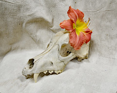 Kim Does O'Keeffe (BKHagar *Kim*) Tags: stilllife flower june skull lily challenge 2016 bkhagar julesphotochallengegroup inimitationofgeorgiaokeeffe originalbygeorgiaokeeffe