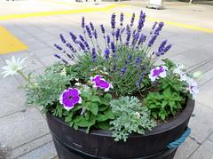 Potted Plants (Seb Ian) Tags: flowers purple lavender pot petunias