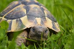 IMG_0268 (Teekanne2) Tags: green nature outdoor turtle natur grn schildkrte drausen