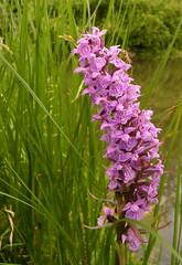 Wild Orchid (DutchImage) Tags: beatrixpark almere wildorchid