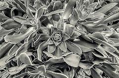 Succulent ... ; (c)rebfoto (rebfoto) Tags: bw stilllife texture succulent rebfoto