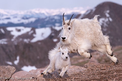 Someone is in trouble... (OJeffrey Photography) Tags: nikon colorado action wildlife chase co mountaingoats mountevans d500 wildanimals coloradorockymountains coloradowildlife mountaingoatkid jeffowens ojeffrey ojeffreyphotography