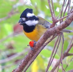 Falcunculus frontatus 5 (barryaceae) Tags: new lake bird birds wales south sandbar australia aves smiths australianbirds australianbird ausbird ausbirds