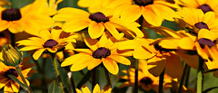 Golden Goodness (Laura Rowan) Tags: rudbeckia ourgarden golden sunshine warmth heat sun flower bloom blossom