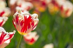 La dernière de la saison (StephanExposE) Tags: fleur flower nature parc parcfloraldeparis paris iledefrance france stephanexpose vincennes jardin garden canon 600d 100mm 100mmf28lmacroisusm