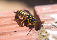 danger! ( alfanhu) Tags: macro closeup vespa wasp nest stripes sting bricks bite vesper panal avispa