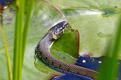 Grass Snake on Lilies . Explored (claylaner) Tags: grass snake styal quarrybankmill natrixnatrix