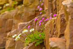 Living Life On The Edge (williamrandle) Tags: summer spring nikon holidays rocks outdoor cliffs blooms moray findochty pinkflowers whiteflowers seathrift 2016 lifeontheedge northeastscotland seamayweed d7100 tamron2470f28vc