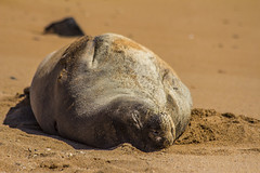 monkseal12Jun17-16 (divindk) Tags: hawaii hawaiianislands kauai neomonachusschauinslandi beach cute endangeredspecies hawaiianmonkseal lazy marine marinemammal monkseal seal sunshine whiskers