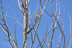 "Around the Teton Park Loop, Mormon Row, not a Mormon it""s a woodpecker (thatmanwithacamera) Tags: america wyoming grandtetonnp mormonrow"