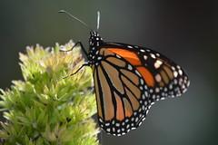 butterfly driving a truck (Jason Rosenberg) Tags: butterfly insect nikon nikond5200 bug plant california orange spotted green sun macro macrodreams depthoffield antenna monarch monarchbutterfly sandiego