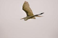 Heron Nation 06.25.2016.03 (nwalthall) Tags: sanantonio herons egrets