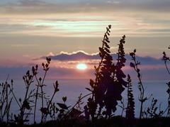 Foxglove Sunset (farwest56) Tags: cornwall stives olympus sz31mr rosewall campion wildflower sunset sea foxgloves sun