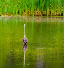Being Watched (Catskills Photography) Tags: bird heron nature water animal reflections pond bokeh wildlife greatblueheron canon70300mmllens