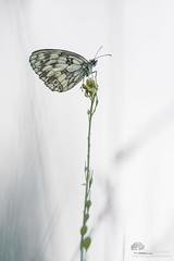 En toute simplicit (photosenvrac) Tags: papillon insecte nature bokeh sigma150 thierryduchamp