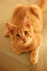 Posing kitten (Steve M photography) Tags: portrait pet cute cat eyes kitten depthoffield mainecoon playful domesticcat f1850mm primelens domesticpet