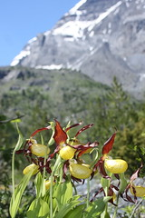 sabot de Venus ,Cypripedium Calceolus (luka116) Tags: fleur juin suisse valais orchides 2016 cypripediumcalceolus derborence orchidaces