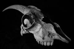 Skull (heiko.moser) Tags: bw art blancoynegro nature animal canon skull mono tiere blackwhite noiretblanc head natur goat natura nb ziege sw monochrom schwarzweiss nero animale nahaufnahme tier discover kopf schdel einfarbig schwarzweis eyecatch entdecken heikomoser