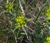 Euphorbia terracina, Esperaza (Niall Corbet) Tags: france roussillon languedoc aude esperaza euphorbiaterracina euphorbia spurge