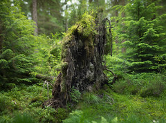 Long Since Fallen (Edd Noble) Tags: panorama tree wales bokeh fallen betwsycoed canonfd85mmf12 bokehrama microsoftice bokerama bokehpanorama brenizermethod sonya7
