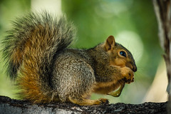Lunch (http://fineartamerica.com/profiles/robert-bales.ht) Tags: trees people cute nature beautiful animal animals spectacular mammal rodent photo furry squirrel wildlife awesome gray nuts scenic surreal peaceful places idaho whiskers fox peanut sensational states projects inspirational sublime magical emmett magnificent inspiring haybales facebook iphone animalphotography sciuridae gameanimal sciurus easternfoxsquirrel sciurusniger bushtail canonshooter forupload scenicphotography backyardanimal photouploads squirrelphotography robertbales squirrelorchiper