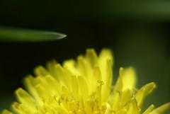 hello hello! (Lena Hadder) Tags: plants flower grass lena mniszeklekarski