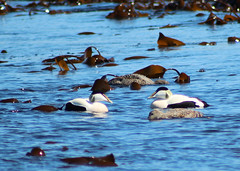 Eider (Hairy Caterpillar) Tags: sea bird duck northumberland farneislands eider innerfarne