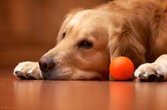 A Dog and His Ball (bztraining) Tags: zachary 100 113