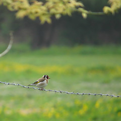 le fakir (laetitiablabli) Tags: france bird animal photography oiseau avian picardie somme carduelis lgant chardonneret