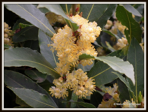 Bay laurel,sweet bay  (  Laurel nobilis  )