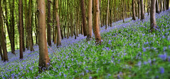 Prior's Wood, still looking gorgeous! (CarolynEaton) Tags: wood uk england woodland somerset bluebell prior portbury