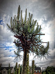 Cleveland cactus (SteveMather) Tags: ohio arizona cactus tree pine bush desert cleveland oh shrub sonoran mather 4s iphone 2013 simplyhdr