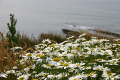 Daisies (Owen H R) Tags: flowers wild daisies bay orkney shore daisys skaill owenhr