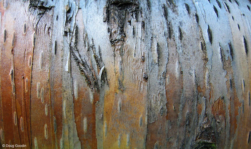 Photo - Close up, bark of one of OSMP's rare paper birch trees.