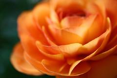 lost in your arms... (janoid) Tags: orange macro blossom ranunculus ❤ xoxoxox ijustfoundoutthatranunculusmeanslittlefroginlatin ilovelusciousranunculusandilikelittlefrogstoo iamsendingallmylovetoallofyouwiththisblossom uncarazonescondio