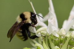 Bee Balm And Bumble Bee (Diane Marshman) Tags: summer white plant black flower macro nature up yellow wings close body pennsylvania bee bumblebee pa fragrant tall monarda balm perennial blooming spreading