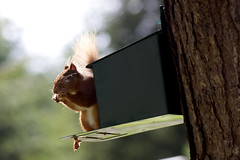 Nom Nom Nuts (Peter Storr) Tags: red squirrel forrest box eating centre nuts feed parcs whinfell