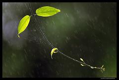 A Rainy Morning (asifsherazi) Tags: morning pakistan color green nature beautiful beauty rain spider leaf image pics vibrant web picture tele raining lahore nikon300mmf4 nikond800 asifsherazi gettyimagespakistanq12013 asifsherazi2013