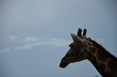 Giraffe (Adventurer Dustin Holmes) Tags: giraffe dickersonparkzoo