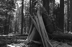 Windfall BW (rschnaible) Tags: trees bw usa mountain mountains west forest landscape outdoors us woods view hiking nevada hike sierra western damaged windfall lassenvolcanicnationalpark