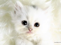 cats-image-hq-hd-wallpapers-lovershugs.com-99999800 (zohaibmir) Tags: wallpaper cat hd