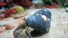 Hermit Crab, Monterey Aquarium.MVI_1858(1) (Patterns and Light) Tags: ocean california sea monterey video crab sealife tidepool tidal hermit scavenger pagurus montereyaquarium 2013