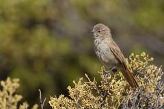 Cordilleran Canastero - Asthenes modesta modesta - Canastero pálido - Sajama National Park, Bolivia