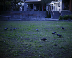 (ari@098) Tags: park digital canon 50mm pigeon okinawa  naha    50mmf14usm  canon6d
