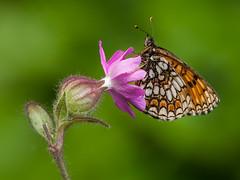 10052013-P5104271 (decapoa) Tags: macro natura insetti