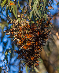 Monarch Butterflies (3dphoto.net) Tags: california santacruz beautiful insect clusters butterflies monarch migration eucalyptustrees naturalbridgesstatepark